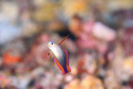 アケボノハゼ幼魚!!!かわいいー。